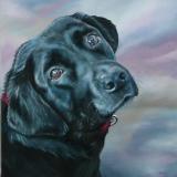 Labrador, in opdracht  40 x 40